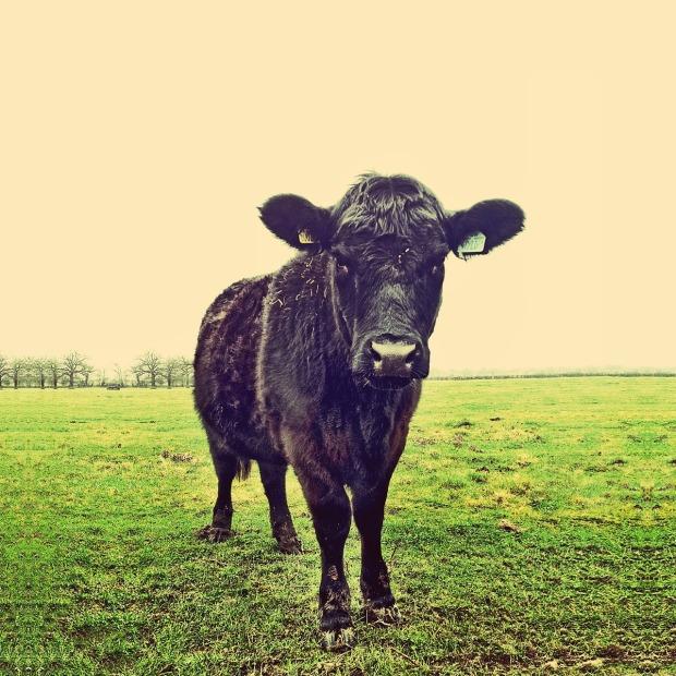 cow-450817_1280