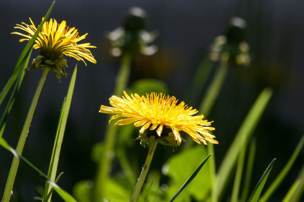 common-dandelion-331701_1280
