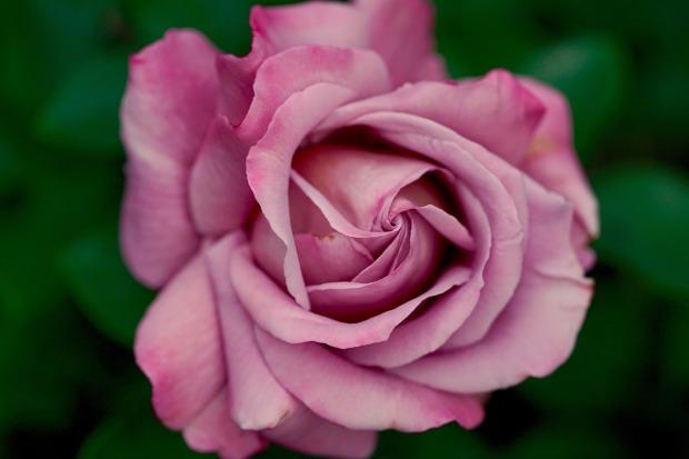 rose-782513_1280