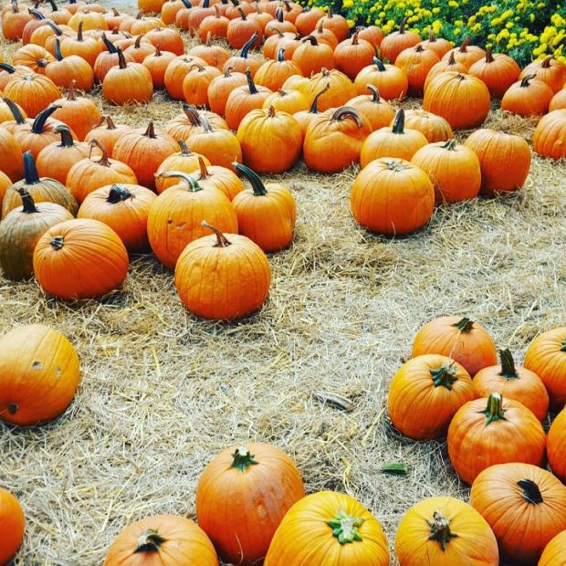 pumpkinsbeckerfarms
